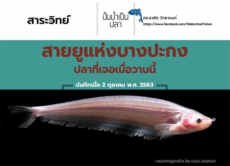 ปั้นน้ำเป็นปลา: สายยูแห่งบางปะกง ปลาที่เจอเมื่อวานนี้